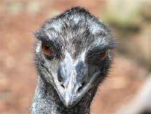 Partial view emu head, eyes, beak. In East, Australia Stock Photos