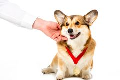 Partial view of man touching corgi with golden medal. Isolated on white background royalty free stock photography