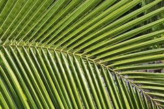 Partial view of a palm leaf Royalty Free Stock Photo