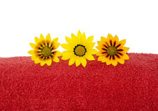 Partial View of Red Towel Rolled Up with 3 Gazanias. Three gazanias positioned on a partially seen red rolled up towel in close up, against a plain white and stock photo