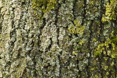Partial view of a tree trunk bark Royalty Free Stock Photo