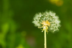 Partially bare little dandelion Stock Image