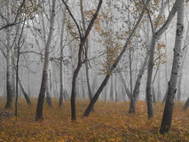 Partially bare trees in aspen forest on misty late autumn morning Royalty Free Stock Photos