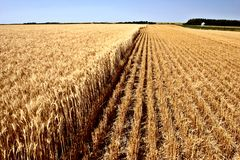 Partially combined wheat crop Stock Photos