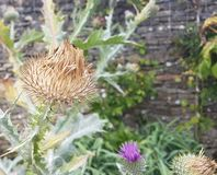 Partially dead thistle plant royalty free stock image