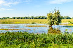 Partially dead crooked old willow tree in a flooded area Royalty Free Stock Photo