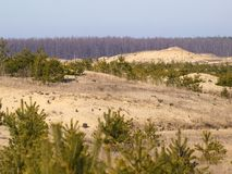 Green spruces and dead grass on the sand hills Royalty Free Stock Photo