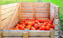 Partially filled wooden harvest crate with small orange pumpkins Royalty Free Stock Photo