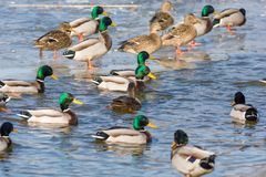 Many mallards on a partially frozen lake in the water and on the ice stock photos