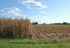 Partially Harvested Corn Field Stock Photography