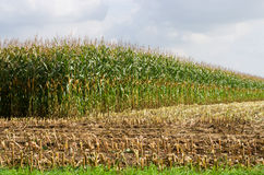 Partially harvested corn field Royalty Free Stock Photos