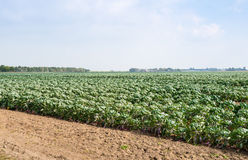 Partially harvested field with Brussels sprouts Royalty Free Stock Photo