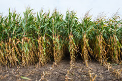 Partially harvested fodder maize from close Stock Images
