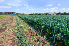 Partially harvested leek plants in a Dutch field Royalty Free Stock Photography