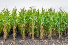 Partially harvested silage maize from close. Close-up of already partially harvested fodder maize on a field. Due to the prolonged drought in the past period royalty free stock photography