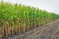 Partially harvested silage maize on the field. Close-up of already partially harvested fodder maize on a field. Due to the prolonged drought in the past period stock photo