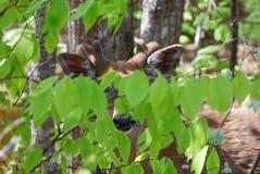 Partially hidden deer in woods. A deer in the woods, partially hidden by green leaves Stock Photos