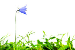 Partially isolated bellflower Stock Images