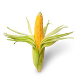 Partially peeled ear of corn Stock Photography