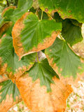 Partially rusted leafs Stock Photo