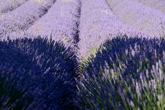 Partially shadowed lines and bunches of blooming lavender. In Drôme Provencale, in France royalty free stock photo