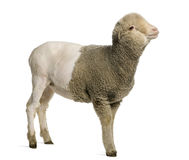 Partially shaved Merino lamb, 4 months old. In front of white background Stock Photos