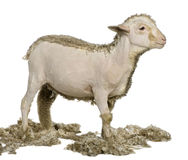 Partially shaved Merino lamb, 4 months old Royalty Free Stock Photography
