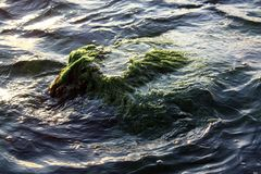 Partially submerged algae and seaweed covered rocky outcropping. Beautiful natural summer background Stock Photo
