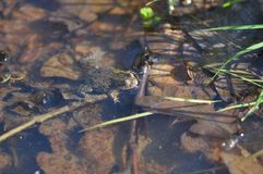 Frog and debris. The partially submerged brown head of european frog Royalty Free Stock Image