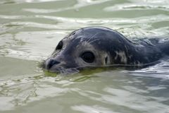 Partially submerged seal Stock Photo