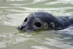 Partially submerged seal Stock Photo