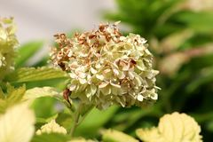 Partially withered Hydrangea or Hortensia garden shrub with bunch of white flowers surrounded with thick light green leaves. Partially withered Hydrangea or stock image