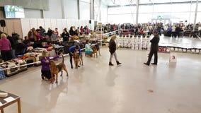 Participants in the ring on the National Dog Show Memorial Yuri Nikulin in Sokolniki Expo Centre stock video