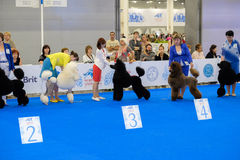 Participants in the ring on the World Dog Show Stock Photography