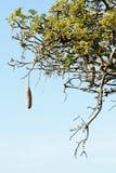 Particolare africano dell'albero della salsiccia Fotografia Stock Libera da Diritti