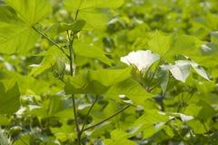 Particolare bianco del fiore del cotone Fotografia Stock Libera da Diritti