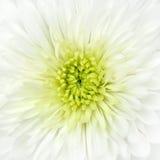 Particolare bianco del primo piano della testa di fiore del crisantemo Fotografia Stock Libera da Diritti