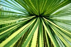 Particolare dei fogli del cactus Fotografia Stock