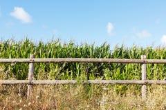 Particolare del campo di cereale Immagini Stock Libere da Diritti