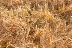 Particolare del campo di cereale prima del raccolto Immagine Stock