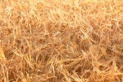 Particolare del campo di cereale prima del raccolto Fotografia Stock Libera da Diritti