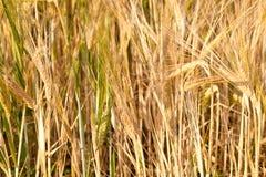 Particolare del campo di cereale prima del raccolto Fotografie Stock