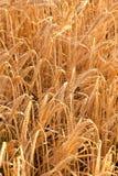 Particolare del campo di cereale prima del raccolto Immagine Stock Libera da Diritti