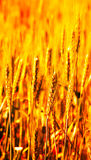 Particolare del campo di frumento Fotografia Stock