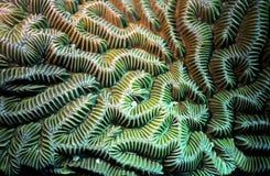 Particolare del corallo di cervello Fotografia Stock Libera da Diritti