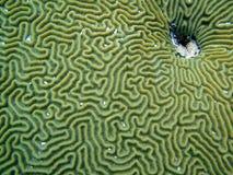 Particolare del corallo di cervello Fotografie Stock