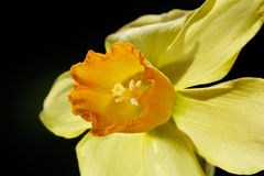 Particolare del fiore del Daffodil Fotografia Stock