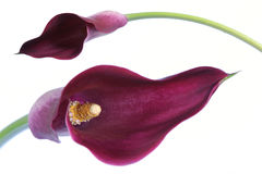 Particolare del fiore ed isolato fotografia stock libera da diritti