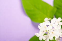 Particolare del fiore lilla bianco Immagini Stock Libere da Diritti