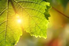 Particolare del foglio dell'uva Fotografie Stock Libere da Diritti
